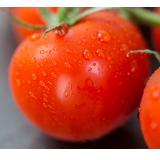 Tomate Chonto ( aprox 3 und por libra )